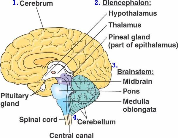 1 name the division of the brain that includes the midbrain pons and medulla oblongata Chapter 13: brain and cranial nerves multiple choice 1 which of the following statements concerning the brainstem is true a) the brainstem consists of the medulla, pons, and cerebellum.