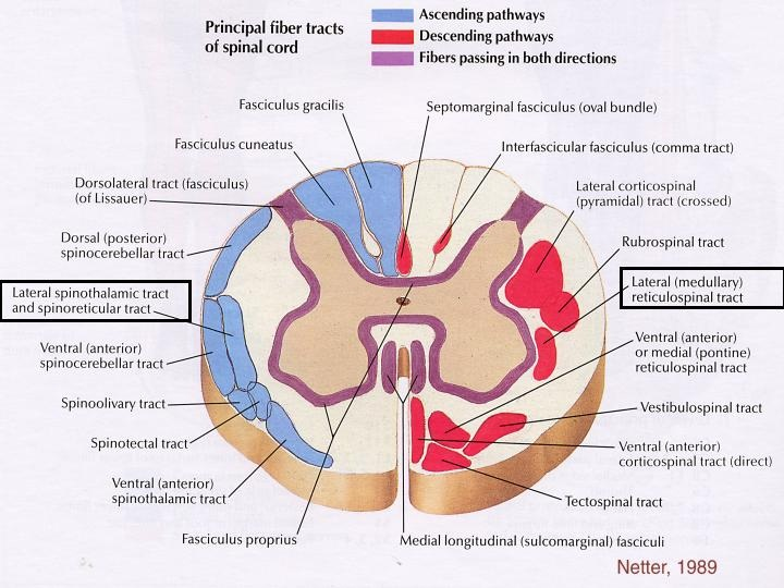 Cross-Sectional Anatomy - The Central Nervous system